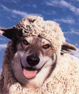 sheep-wolf mask
