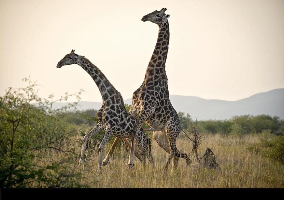 Giraffe Mating With Zebra  Giraffe Mating ...