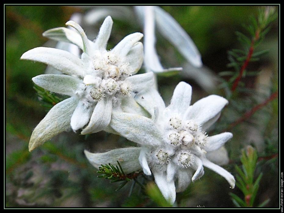 edelweiss-001-gf