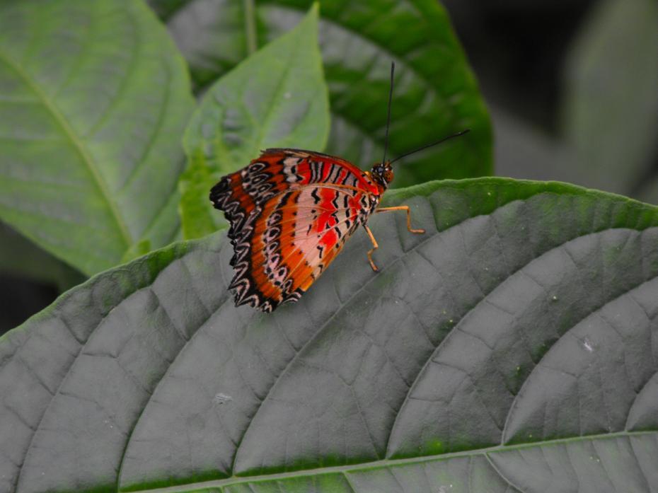 fluture razboinic