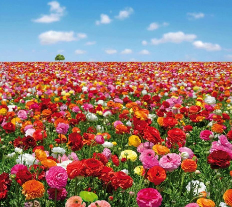 flowers-field
