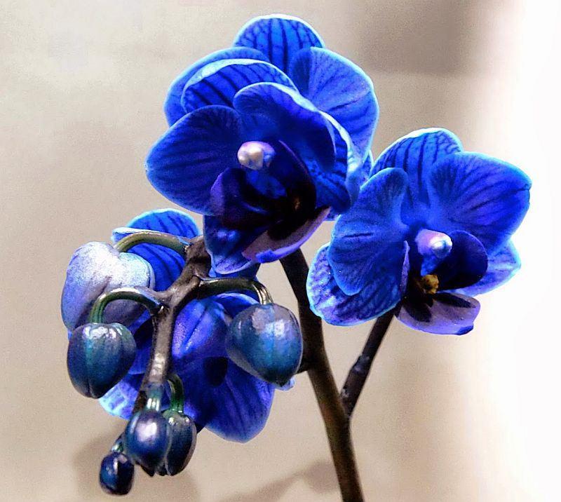 orhidee-albastra