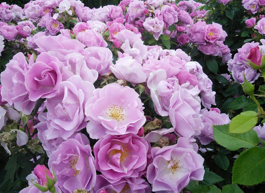 Roses in Queen's Mary Graden