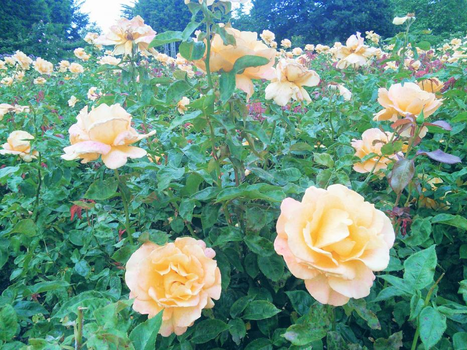 Roses in Queen's Mary Garden