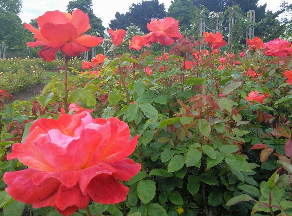 Roses in Queen's Mary Garden