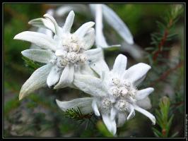 edelweiss-001-gf_(1)